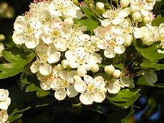 Hawthorn flower2.JPG