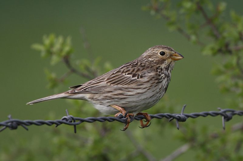 Corn bunting on a wire fence