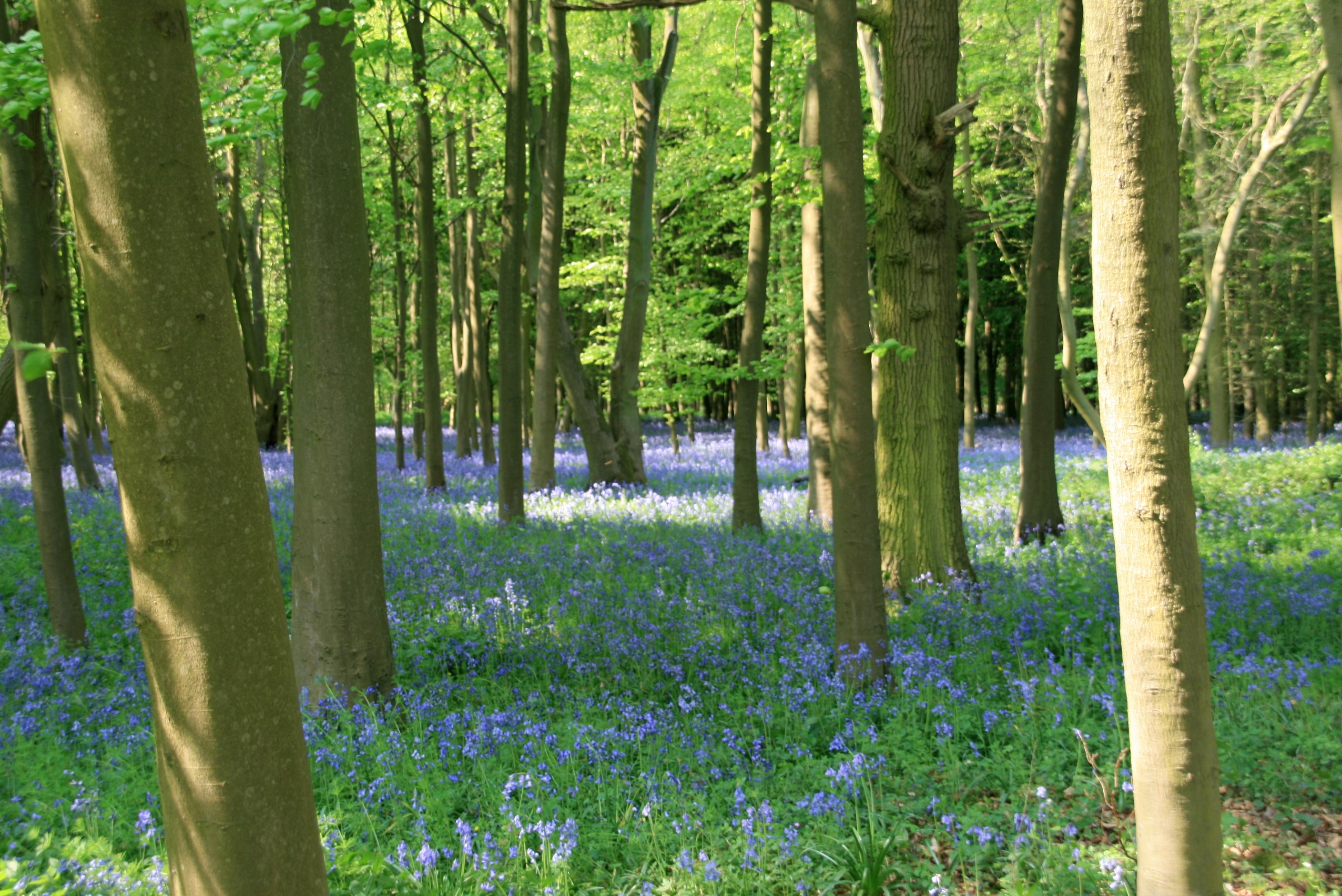 Bluebell wood in Essex.jpg