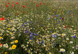 Annual Wildflower Mix.jpg