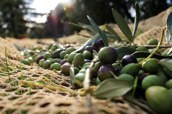 récolte olives2.jpg