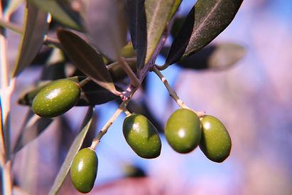 olive-pombal.jpg