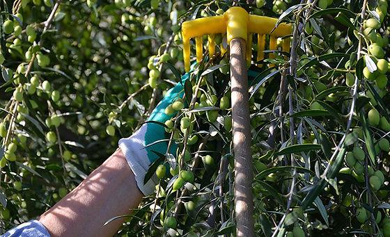 Cueillette des olives.jpg