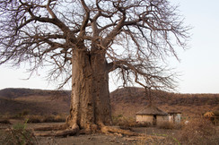 Baobab, Tanzânia 2015