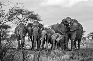 Família de Elefantes, Tanzânia 2015