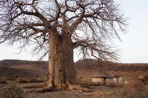 O Sagrado Baobab. Aldeia Maasai, Tanzânia, 2015