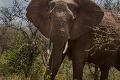 Sabedoria do Elefante. Cratera Ngorongoro, Tanzânia 2015.