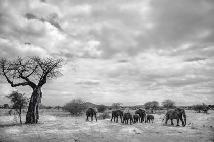 Imigração dos Elefantes e o Baobab. Maasai Mara, Tanzânia 2015.