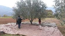 Handpflücken Oliven Mikropoli