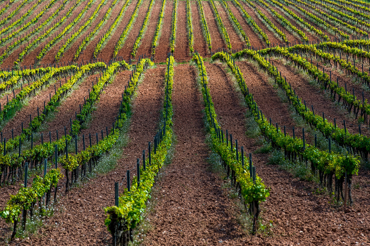 Vineyards at Conca de Barberà (Spain)