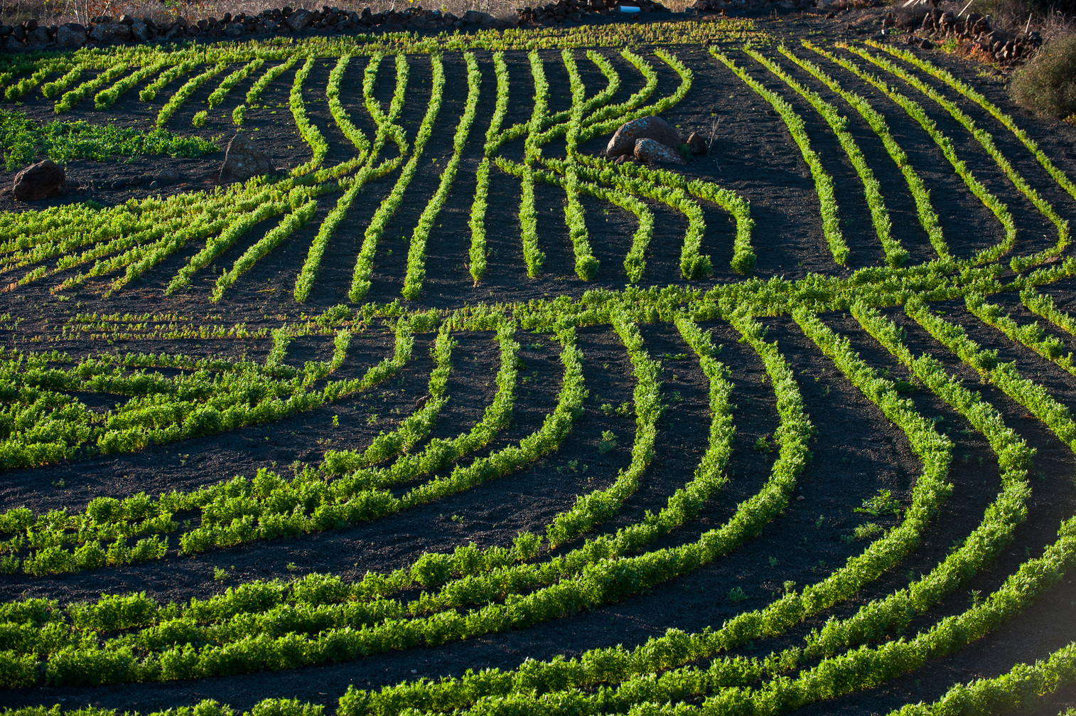 Vineyards near Guatiza - Lanzarote - Canary Islands (Spain)