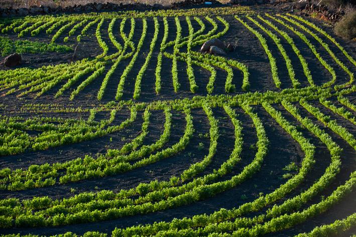Vineyards near Guatiza - Lanzarote - Canary Islands (Spain)