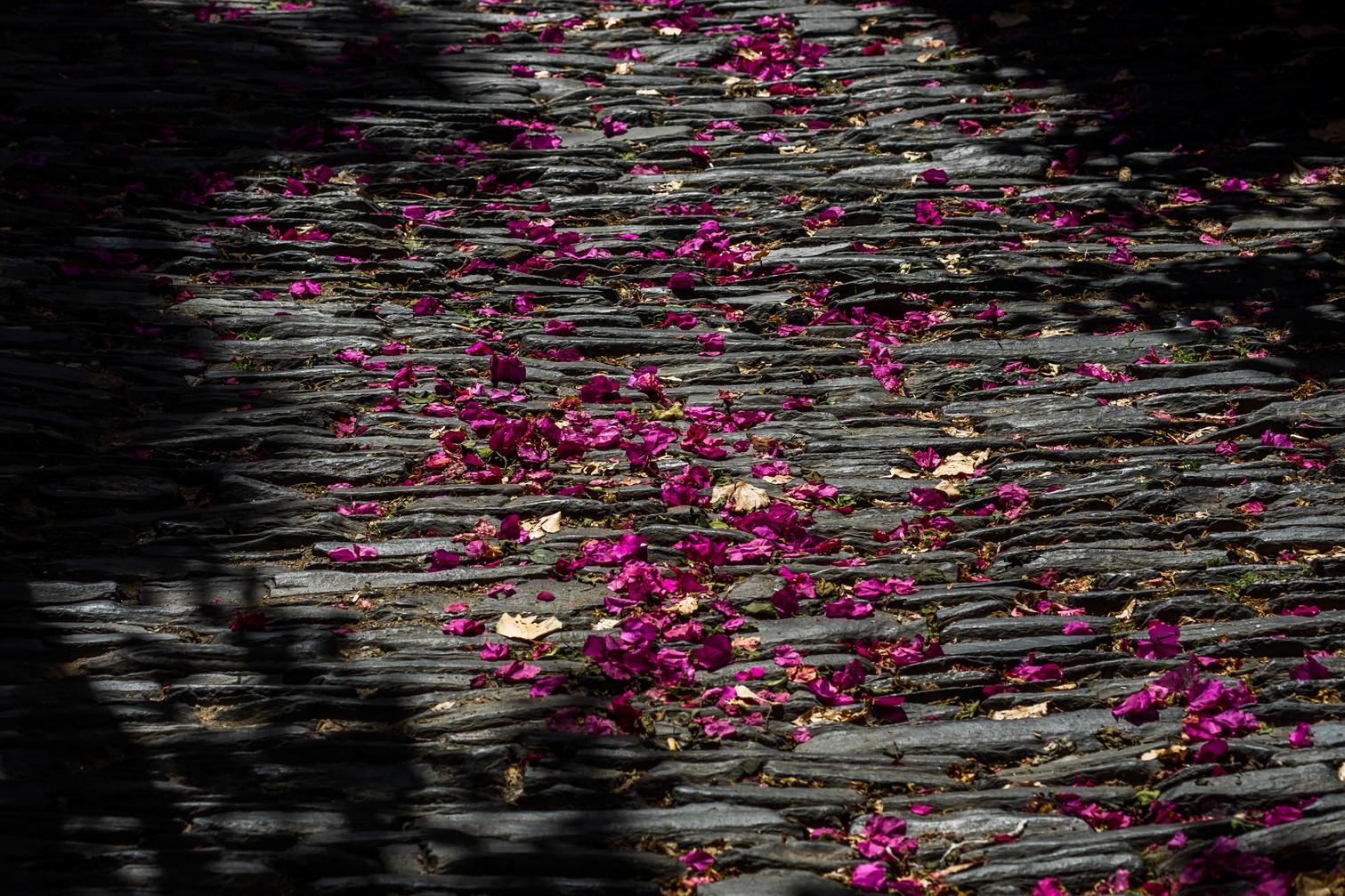 Bougainvillea leaves in a Cadaqués street - Cadaqués (Spain)