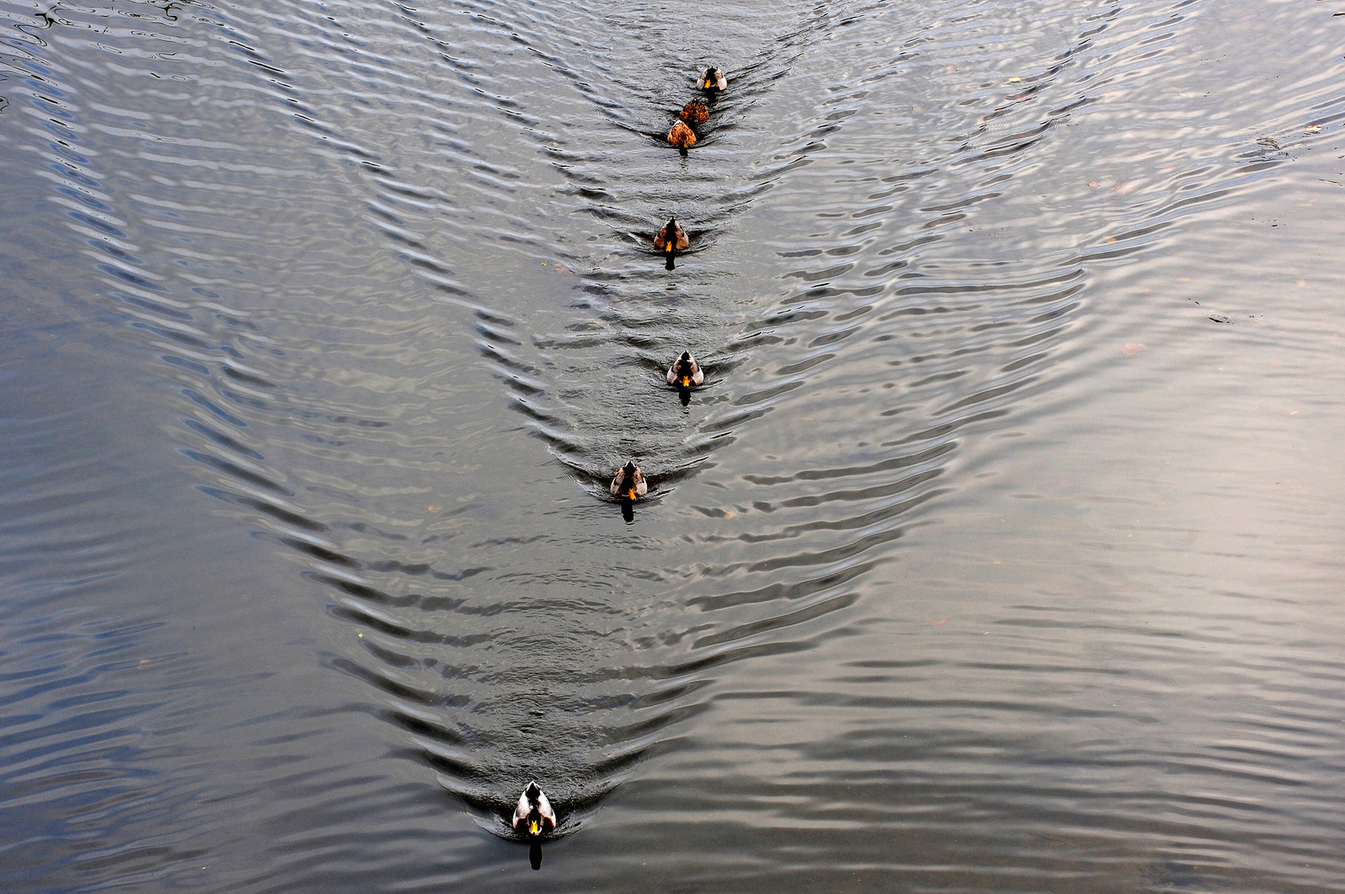 Ducks at Girona (Spain)