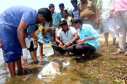 Dugong Stranding Ammapattinam 29 March20