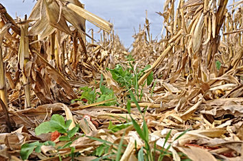Cover Crop after corn harvest.jpg