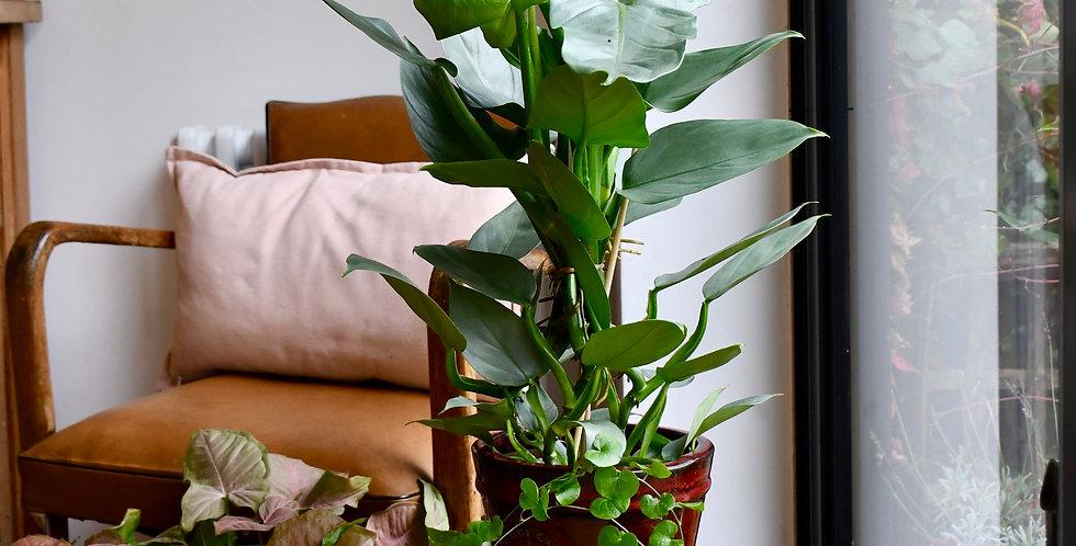 PhilodendronHastatum 40cm