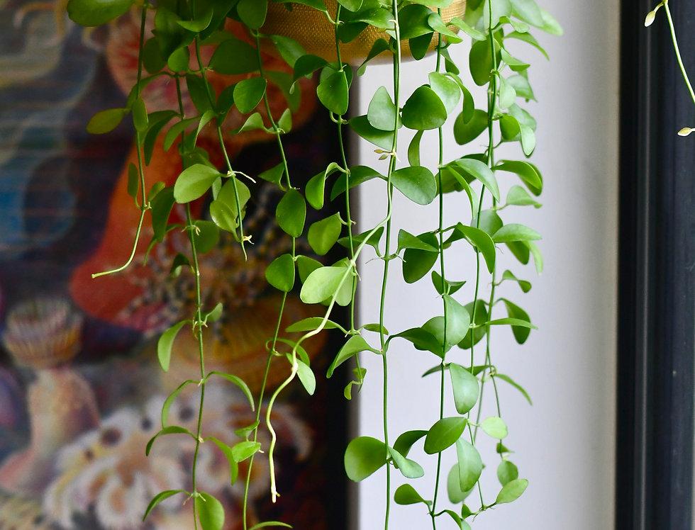 Dischidia Pectanoides - Ant Plant 14cm x 50cm