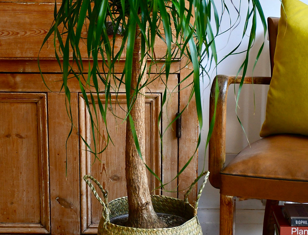 Nolina Recurvata single stem - Pony tail Palm/Elephants foot