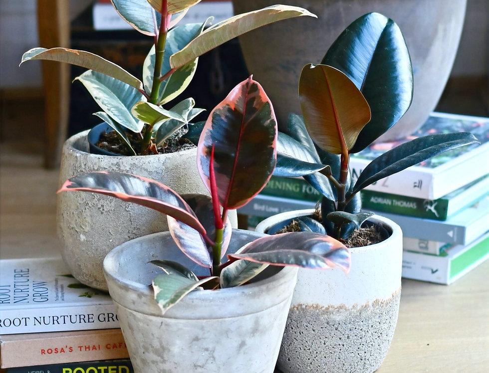 Ficus Abidjan, Ruby & Tineke Bundle