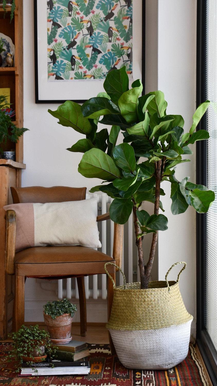 Fiddle Leaf Fig 'Branched' Tree   Ficus Lyrata