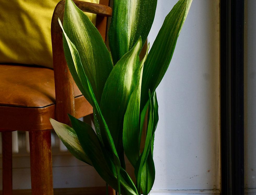 Aspidistra elatior 'Asahi' (Lime Striped Cast Iron Plant) *Very Rare*