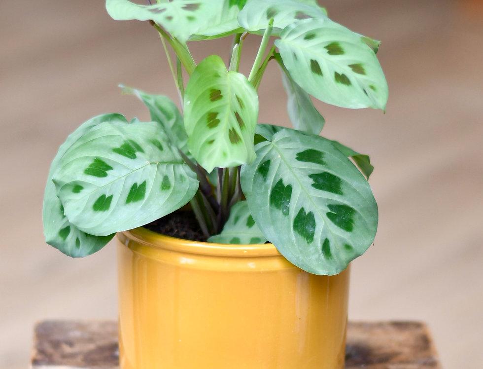 Maranta Kerchoveana Prayer plant 12cm pot 25cm high