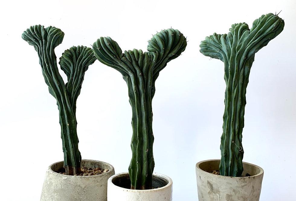Large Myrtillocactus geometrizans T crested *Rare*