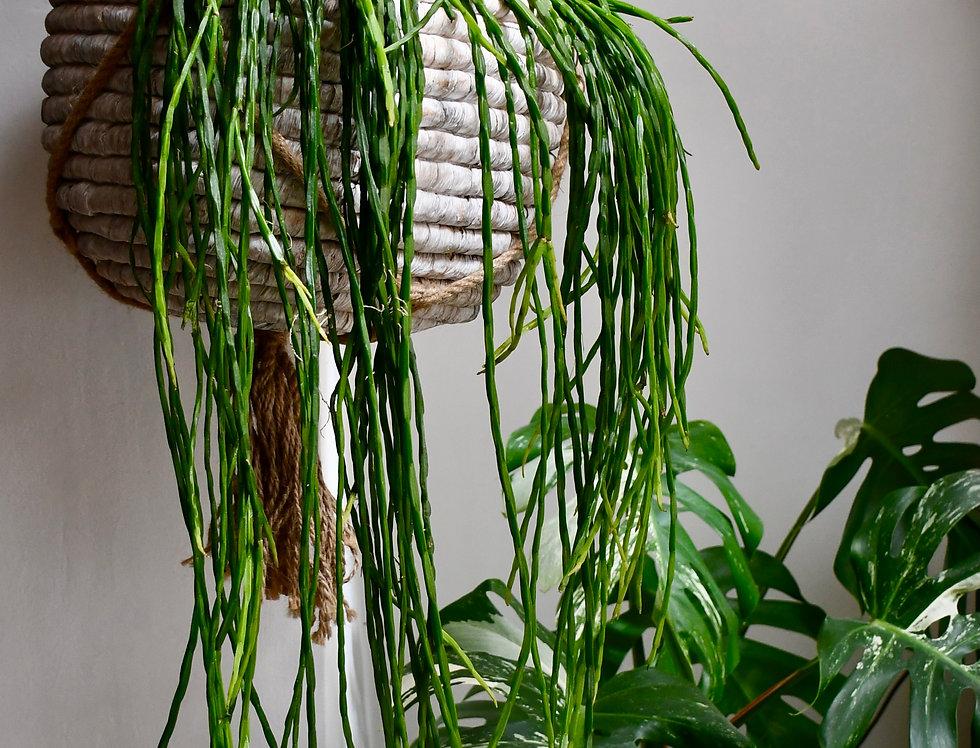 Rhipsalis Paradoxa - Chain Cactus