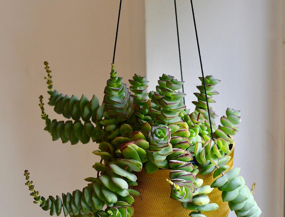 Crassula Perforata hanging