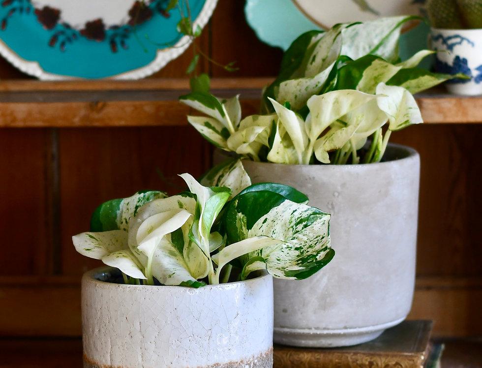 Epipremnum Happy Plant