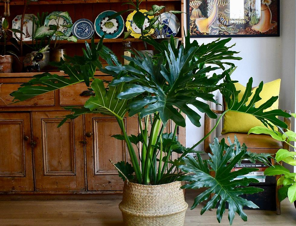 XL Philodendron bipinnatifidum or selloum 'Cum Laude' 100cm