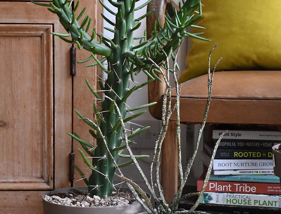 Opuntia Subulata *very rare*