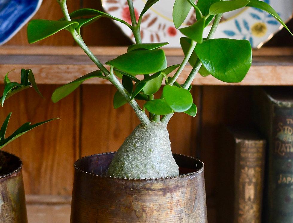Hydnophytum papuanum 'Ant Plant' *Rare*