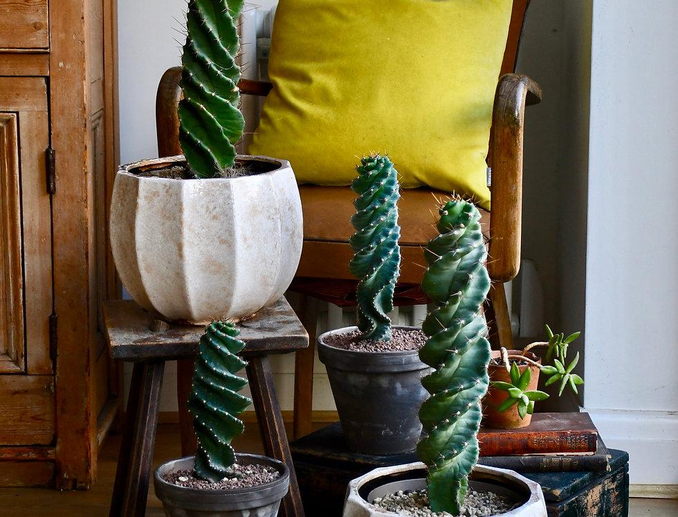 Large Cereus Forbesi Spiral - Spiral cactus *rare*