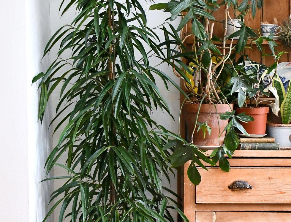 Ficus maclellandii Alii - Amstel King