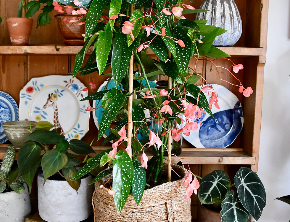 Begonia Coccinea - Angel wing Begonia