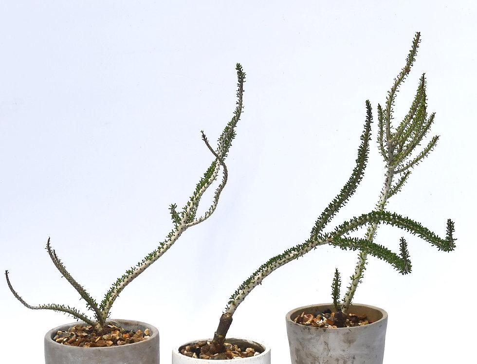 Large Ceraria namaquensis *Rare*