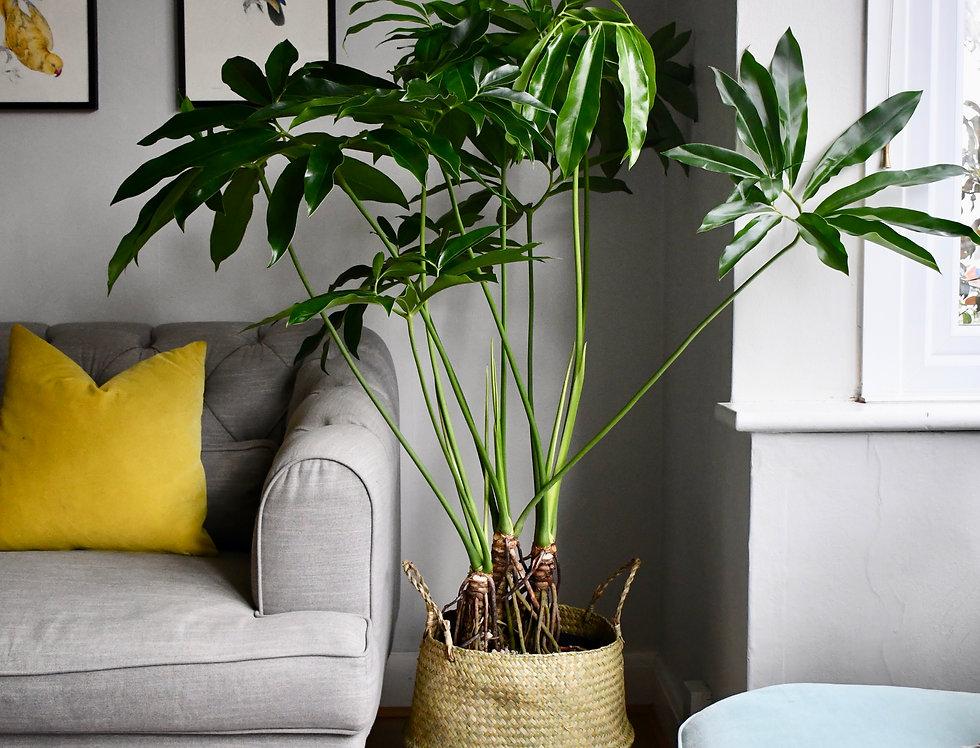 Philodendron Goeldii - Philodendron 'fun bun' 140cm