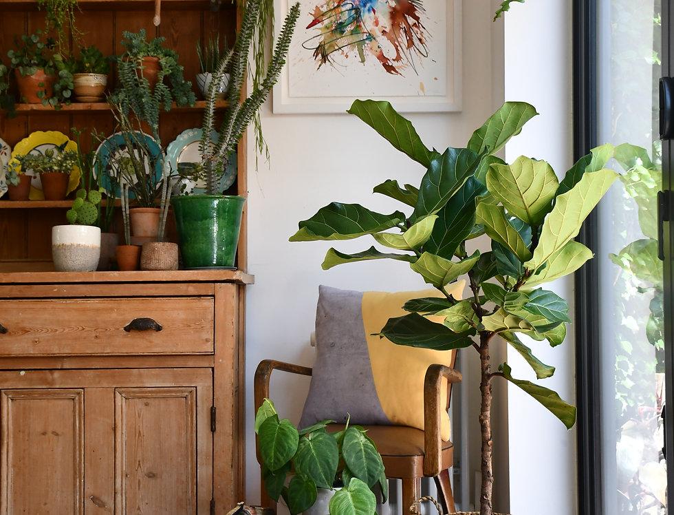 Ficus Lyrata -Fiddle fig 100cm, 27cm pot