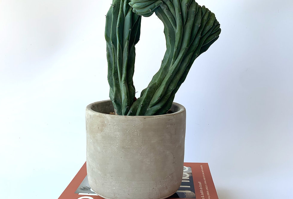 Double Myrtillocactus geometrizans T crested *Rare*