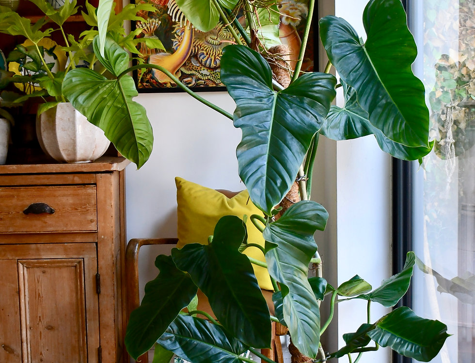 Philodendron Emerald King 130cm