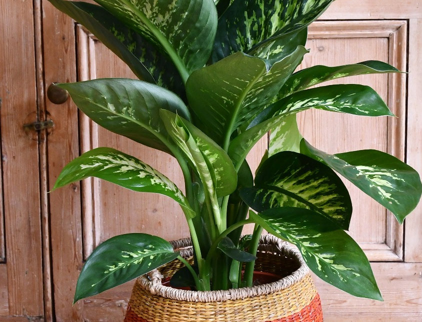 Dieffenbachia Amoena or Dumb Cane, happy house plants, indoor plants for sale, easy care, seagrass planter