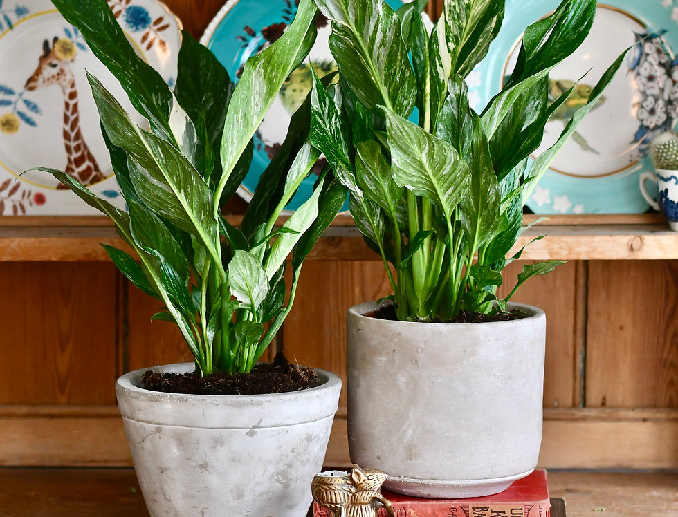 Variegated Spathiphyllum Sensation *rare*