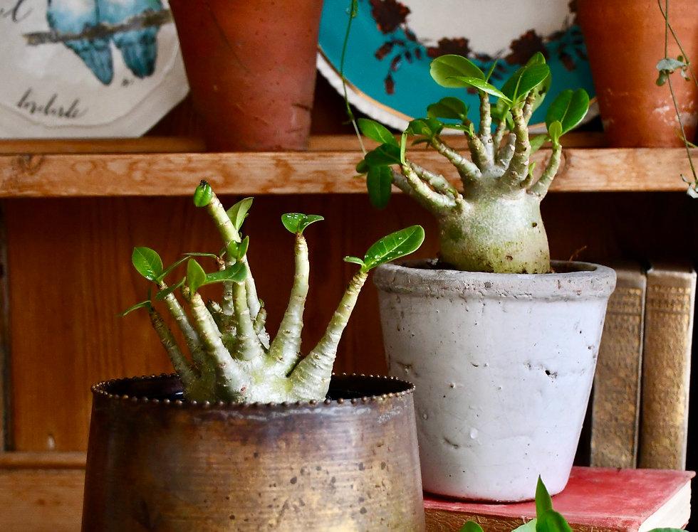 Small Adenium Baobab