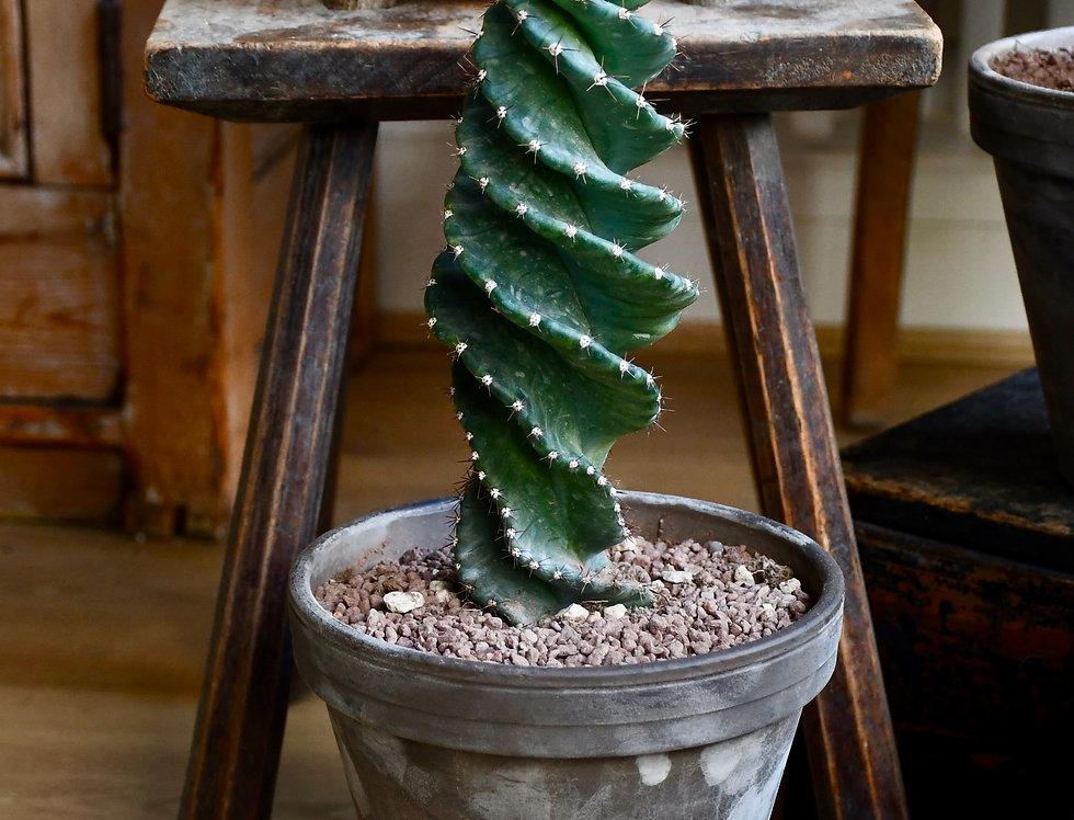 Medium Cereus Forbesi Spiral - Spiral Cactus *rare*