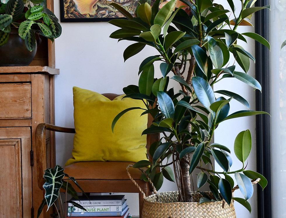 Ficus Robusta 130cm