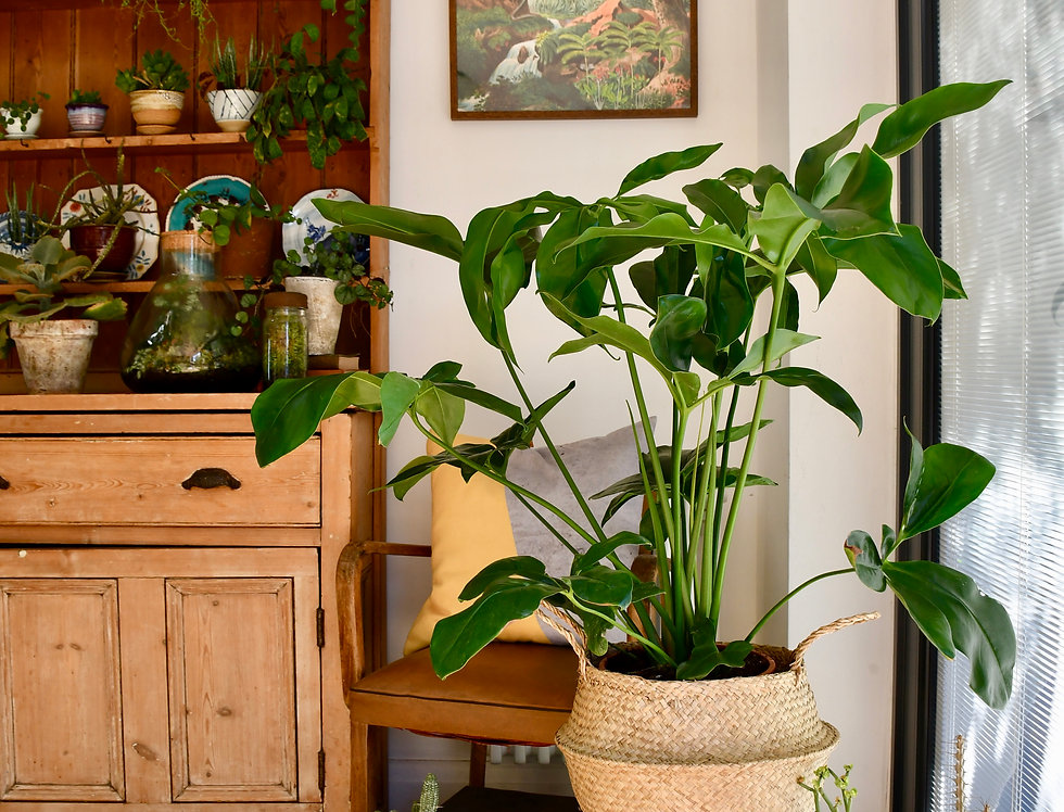 Thaumatophyllum Spruceanum (Philodendron Goedii)
