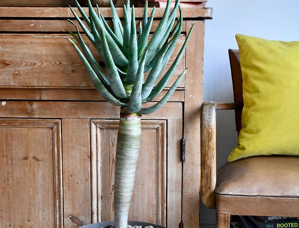XL Aloe Discothoma
