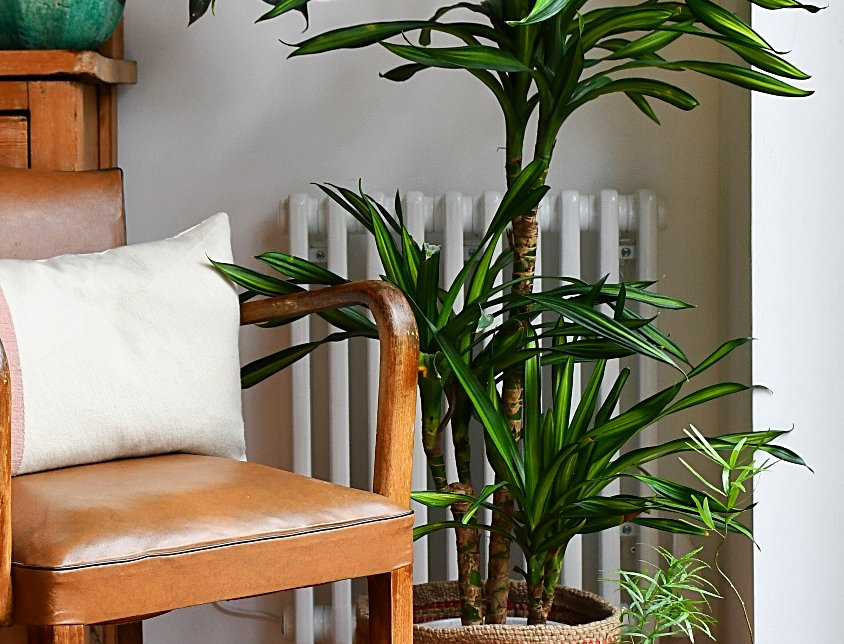 Dragon Plant - Dracaena Fragrans - Variegated Narrow Leaf,happy house plants, indoor plants for sale, easy care, seagrass pla